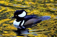"""Hooded Merganser. Merganser birds are fish-feeding ducks have serrated edges to their bills to help them grip their prey; they are therefore often known as """"sawbills"""". In addition to fish, they take a wide range of other aquatic prey, such as molluscs, crustaceans, worms, insect larvae, and amphibians; more rarely, small mammals and birds.  When not diving for food, they are usually seen swimming on the water surface, or resting on rocks in midstream."""