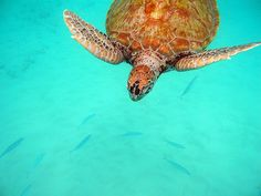 Barbados - to see the turtles..how cool