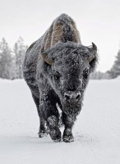 The European wood bison is the heaviest surviving wild land animal in Europe.