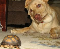 """""""I rescued this box turtle from a busy street.  Before I took it to a safer location, I let Rosie the dog have a sniff.""""- Mary, IN"""