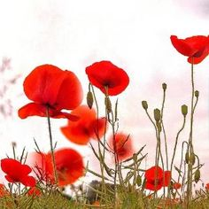 Poppies by nellie