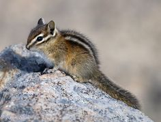 Yellow-Pine Chipmunk (Tamias amoenus), Mount Rainier National Park, Washington State, USA