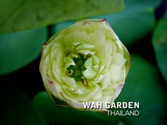 Chuehuang Lotus Yellow 5 | Nelumbo nucifera or Sacred Lotus … | Flickr Nelumbo Nucifera, Sacred Lotus, Cabbage, Vegetables, Yellow, Rose, Flowers, Plants, Pink
