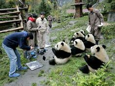 The China Panda valley in Chengdu is the newest transitional training area, providing a safe environment for the endangered bears to develop their survival skills.