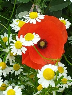 Poppy and daisies. Have a fabulous day!