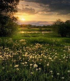 sun setting over the dandelions