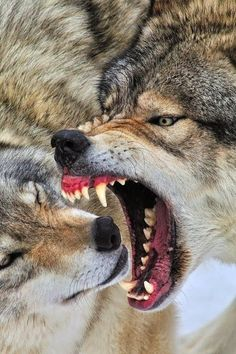 Here you can compare gray wolf vs fox. Read this article to know comparison, difference between fox vs gray wolf and who will win the fight. Wolf Spirit, Spirit Animal, Wolf Pictures, Animal Pictures, Wolf Photos, Beautiful Creatures, Animals Beautiful, Humor Animal, Tatoo Dog