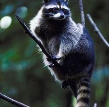 how to get rid of skunks and raccoons at bird feeders by heather