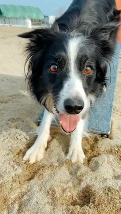 This border collie is ready to go to the races. Perros Border Collie, Border Collie Puppies, Border Collie Mix, Collie Dog, Border Collie Names, Border Collie Colors, Collie Puppies For Sale, Lab Mix Puppies, Cute Dogs And Puppies