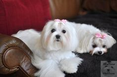 Pet Maltese Daily Care: Brushing, Tear Stain Cleaning, Teeth Brushing and Top Knot