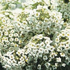 """Alyssum 'Sweet White'  is a beautifully scented variety with an open, bushy habit. With a toughness that belies its delicate appearance, sweet alyssum is surprisingly wind tolerant and makes a useful plant in coastal areas. Height: 15cm (6""""). Spread: 25cm (10""""). Ideal For:patio, ground cover, cottage gardens, alpine  rockery, scented gardens, wildlife gardens, coastal garden Flowering Period:June, July, August, September Sowing Months:March, April, May Position:full sun"""