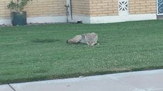 Seen a coyote today chilling on someone's lawn. Welcome to Sun City. Sun City, Chilling, Lawn, Grass