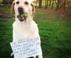 """""""I've been stealing tennis balls out of my neighbors yard for 3 years - I'm not sorry - Dutch"""" ~Dog Shaming shame - Labrador"""