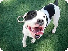Raleigh, NC - American Staffordshire Terrier Mix. Meet MARLOWE, a dog for adoption. http://www.adoptapet.com/pet/11778960-raleigh-north-carolina-american-staffordshire-terrier-mix