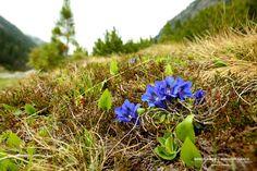 Blauer Enzian im Krimmler Achental Nationalpark Hohe Tauern, Krimml, Salzburgerland Trekking, Flora, Plants, National Forest, Planters, Hiking
