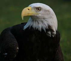 Bald Eagle Details by Dan Sproul.for sale at http://fineartamerica.com/featured/bald-eagle-details-dan-sproul.html