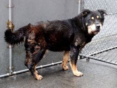 Pulled by Reefuge Animal Rescue Please honor your pledges: http://www.reefuge.org/donate/ SUPER URGENT 3/25/15 Manhattan Center MINNIE - A1031280 FEMALE, BLACK / BROWN, ROTTWEILER / GERM SHEPHERD, 13 yrs STRAY - ONHOLDHERE, HOLD FOR OWNER DIED Reason OWNER DIED Intake condition EXAM REQ Intake Date 03/25/2015 https://www.facebook.com/photo.php?fbid=983985591614320