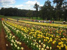 Tesselar Tulip Festival, Monbulk, Victoria