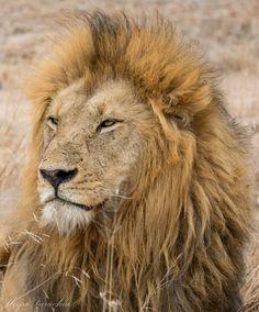 The majestic king of the savannah! Plan your safari: 📷: Savannah Chat, Vacations, Safari, African, King, Crafts, Travel, Animals, Wild Life