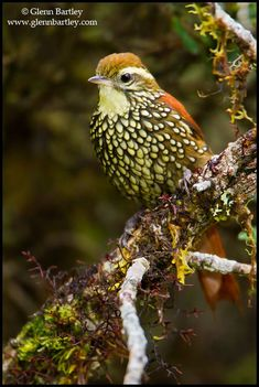Pearled Treerunner (Margarornis squamiger) perched on a branch in Peru.