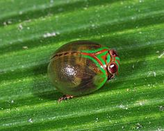 Beetle hopper 1 (Dictyopharidae) by artour_a, via Flickr