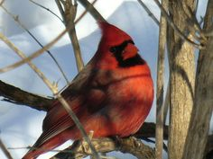 What Kind of Bird Food Do Cardinals Eat? (with Pictures)