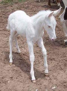 Mules do not tolerate albinism.  This fine foal's just a whiter shade of pale.