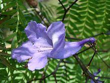 Jacaranda - Wikipedia, la enciclopedia libre