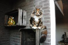 Maine Coon. Look at that beautiful awesome tail!!