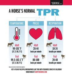 Normal temperature, pulse, and respiration in horses. Horse Information, Vet Assistant, Horse Care Tips, Horse Anatomy, Horse Facts, Horse Camp, Animal Science, All About Horses, Horse Quotes