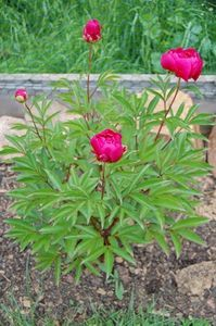 How to care for peonies in the fall, including dividing and transplanting