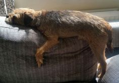 Hanging about! - Oakley the Border Terrier