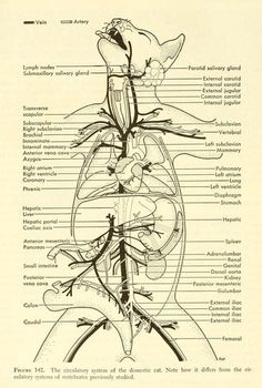 nemfrog — Fig The circulatory system of the domestic. Veterinary Studies, Veterinary Medicine, Veterinarian Technician, Dog Anatomy, Animal Anatomy, Vet Tech Student, Vet Assistant, Pet Vet, Animal Science