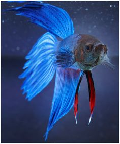 """betta fish- """"Blue Miracle""""  Colored just like my Noodles!"""
