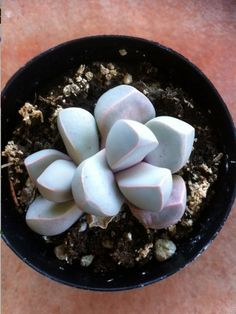 Plante succulente. Split Rock Lapidaria par SucculentBeauties