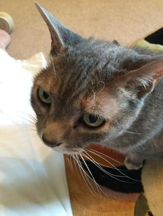 Annie is an adoptable Torbie searching for a forever family near Dover, DE. Use Petfinder to find adoptable pets in your area.