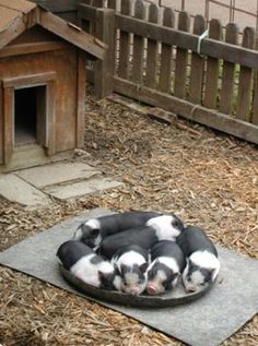 Potbellied Mini Pet Pigs Resource and Adoption Center. Cute Baby Animals, Farm Animals, Animals And Pets, Funny Animals, Amor Animal, Mundo Animal, Pet Pigs, Baby Pigs, Pot Belly Pigs