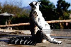 A ring-tailed lemur (Lemur catta) basks in the sun at Qingdao Forest Wildlife World On November 10, 2016 in Qingdao, Shandong Province of China. Living in captivity for 2 years, the ring-tailed lemurs at Qingdao Forest Wildlife World are welcomed by tourists especially for children.