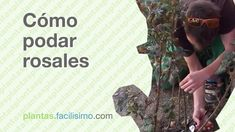 Cómo podar rosales | facilisimo.com Youtube, Creative, Green, Poster, Outdoors, Diy, Ideas, Gardens, Pruning Roses
