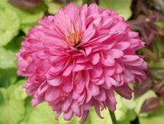 Juillet-Août-Septembre_Echinacea x 'Pink Poodle'_ Croissance moyenne, 65-75cm_Couper les fleurs fanées afin de prolonger la fleuraison et conserver un plan plus compact et solide. Diviser les touffes quand elles deviennent surpeuplées, environ tous les 4 ans au printemps ou à l'automne. Ne pas diviser trop souvent, les Echinacea n'aiment pas être dérangées.