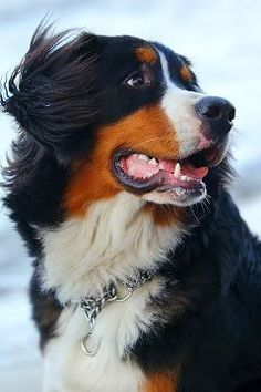 bernese mountain dog - Google 検索                                                                                                                                                     More