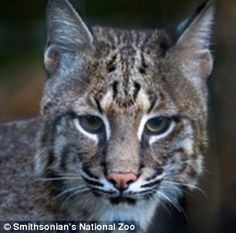 Washington... Missing bobcat Ollie is found after escaping her enclosure | Daily Mail Online