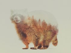 Awesome #photography #doubleexposure by Andreas Lie:  Norwegian Woods: The Raccoon Art Print