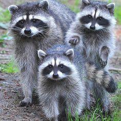 <<Raccoons trio>>