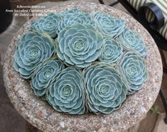 Houseplants for Better Sleep 100 Echeveria Photos, Labeled Succulent Design In Gardens, Containers, Succulent Pots, Cacti And Succulents, Planting Succulents, Garden Plants, Succulent Centerpieces, Succulent Wreath, Succulent Arrangements, Potted Plants, Succulents In Containers