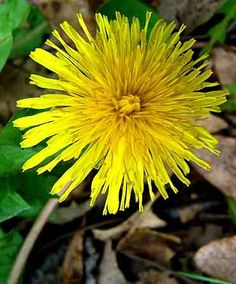 Dyeing with Dandelions. Great use for this weed