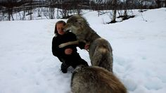 Reunion between Anita and the wolves | Uploaded on May 17, 2010.  Anita had not been in Polar Zoo in about 2 months. When she returned i had the chance to film her first meeting in a long time with the wolves she spent a long time socializing from 16th of May 2008. The video is recorded in Polar Zoo and any questions related to socializing process should be taken with them. For more information about the socialized wolf pack go to http://www.polarzoo.no