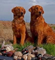 Red Golden Retrievers - Most beautiful dogs I have ever seen. The last large breed I will ever own <3