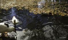 https://flic.kr/p/GrZVoG | Patos que juegan a Otoño | Patos del estanque del Carmen de los Mártires en Otoño