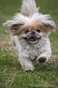 Dog running Pekingese by Roughcollie, via Dreamstime